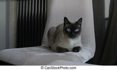 Beautiful Thai cat on chair - Beautiful Thai cat lying on...