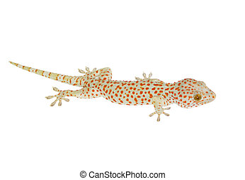 White lizard with red spots - object isolated