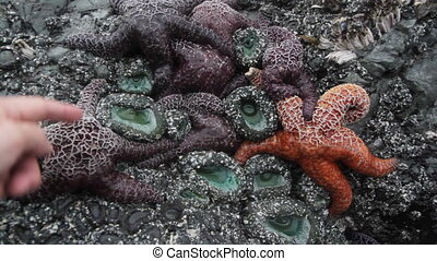 Starfishes and sea anenomes.