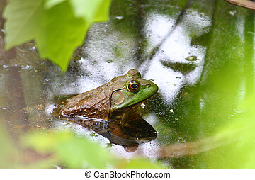 Bullfrog Rana catesbeiana - A big Bullfrog Rana catesbeiana...