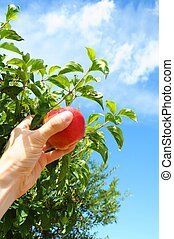 apple - picking red apple from a tree in summer