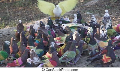 Colombine pigeon competition on the ground, slow-motion -...