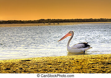 Pelican - A pelican swims in a river at sunset