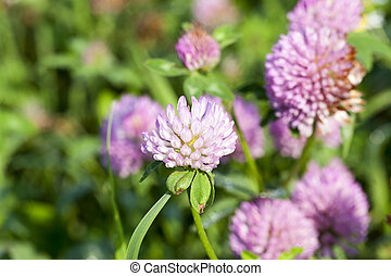 Red clover, field - photo of a red clover growing on the...