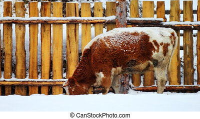 Cow grazing in the winter snow meadow finding dry grass