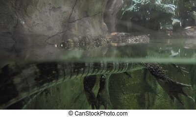 spectacled caiman (Caiman crocodilus), also known as white...