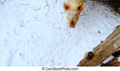 Two curious pigs are walking in the paddock Winter shot
