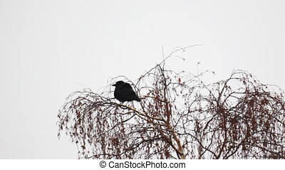 Raven sitting on a snow-covered tree branch during snowfall