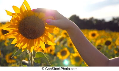 Female hand touching beautiful sunflower in the field with...