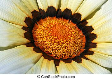 Gazania, gota, flor, amarela