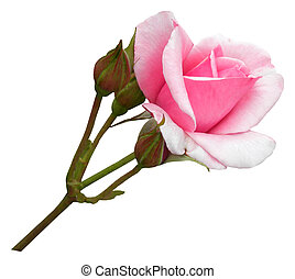 Isolated long stem pink rose with buds - object white...