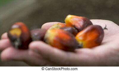 Hand held of a hand holding ripe palm berries used to make...