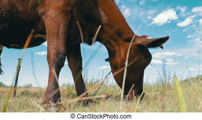 Gray Cow Grazing on Meadow on Sky Background. Slow Motion -...