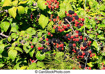Blackberry bush with black and red berries - Wild blackberry...