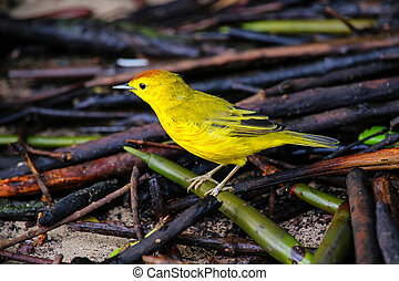 Male Yellow Warbler on Santa Cruz Island in Galapagos...