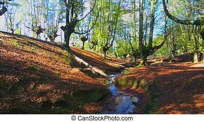 Beech forest in spain
