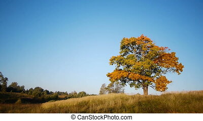Maple tree showing the colors of autumn - Shot of maple tree...