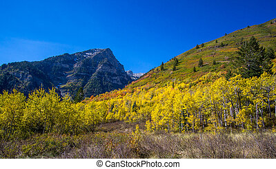Aspen grove with autumn colors in the mountains - Fall...