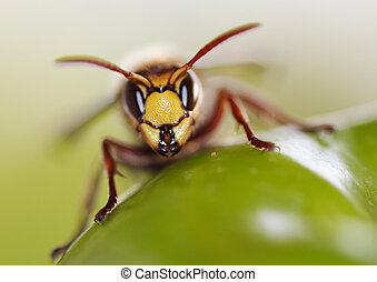 mandibles - Close-up (macro) of a giant hornet