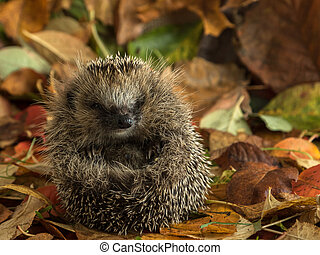 hedgehog curled up in autumn leaves - Young hedgehog male...