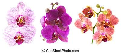 Phalaenopsis isolated on white