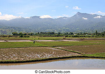 Rice Paddy Workers