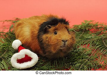 Guinea pig and Santa Clause hat - Soft focus on head of...