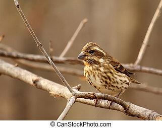 House Finch, Carpodacus mexicanus - Female house finch,...