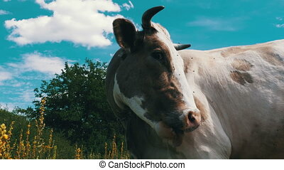 Beautiful Gray and White Cow Grazing on Meadow on Sky...