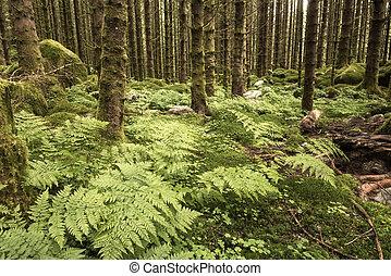 dark scary spruce tree forest - dark scary wet spruce tree...