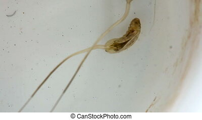 Mosquito crane-fly larva. - Insect larvae in water.