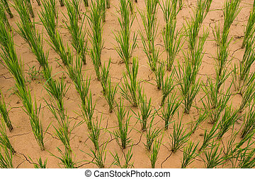 Dry Rice Paddy