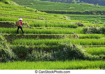 Vietnam Rice Paddy Farmer - Vietnamese Rice Paddy Farmer...