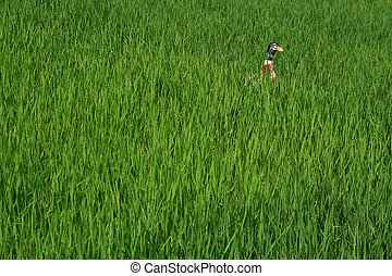 Rice Paddy Duck