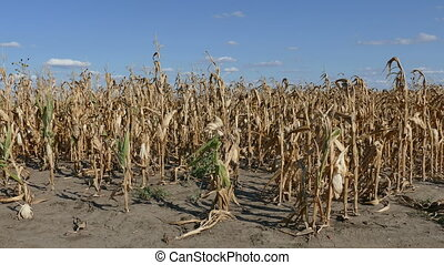 Corn plants in field in late summer after drought, harvest...