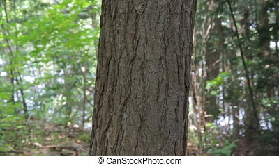 Hugging a tree. - A woman puts her arms around a tree.