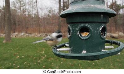 Chickadee feeds - A chickadee feeds on bird seed at a bird...