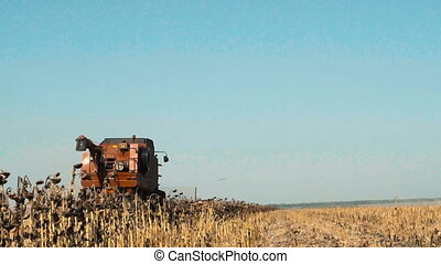 Combine working on a sunflower field. Slow motion.