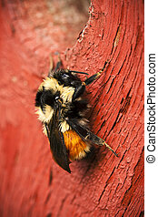 Bumble Bee on Red Wood - Bumble bee sitting on a red stained...