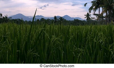 Crane up to volcanoes of Bali through a lush rice field...