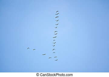 Flock of migrating birds flying in v formation - Flock of...