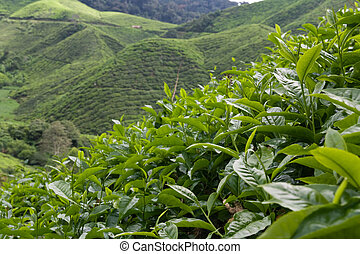 Tea Plantation - Tea plantation Close up, cameron highlands,...