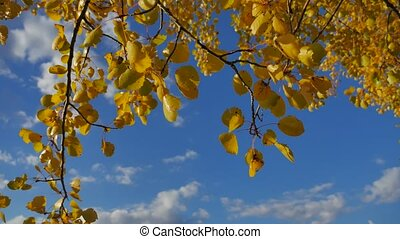 Yellow aspen sunlight leaves against the blue forest sky...
