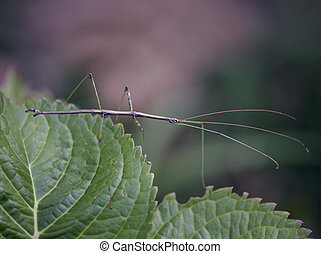 Northern Walking Stick (Diapheromera femorata) on leaves
