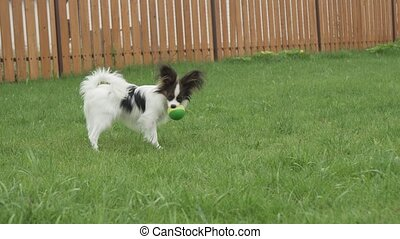 Papillon Continental Toy Spaniel puppy playing with rubber...