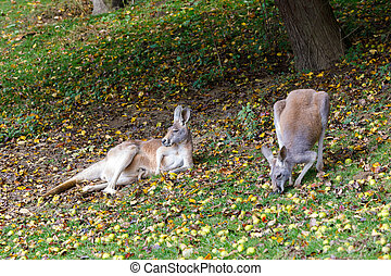 Red kangaroo, Megaleia rufa with baby in bag - family of Red...