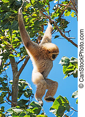 Lar gibbon on the tree. Hylobates lar.