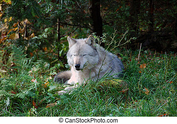 Gray Wolf - A gray wolf in a majestic forest in autumn