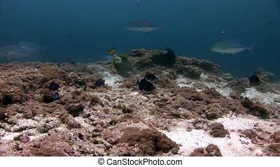 Big eye Trevallies fish tuna wrasse underwater on seabed....