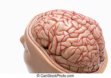 Human brain model isolated on the white background -...